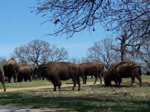 Bison at Woolaroc