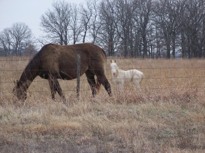 Mare and Colt in Osage County