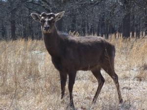 Deer at Woolaroc