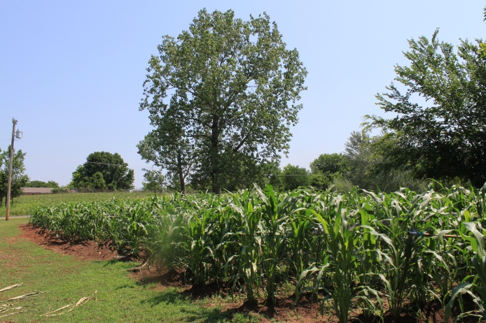 Corn field of Scott Lohah in Hominy. Lohah grows this corn using traditional Osage clumping methods of planting and gives corn to Hominy Village for the annual InLonshka Dances held each June.
